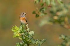 Κοινό Redstart - κοινό Redstart Στοκ Εικόνα