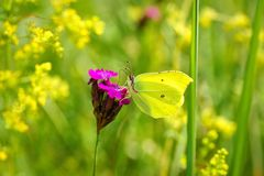 Κοινό rhamni Gonepteryx θειαφιού, νέκταρ κατανάλωσης πεταλούδων από τα κίτρινα λουλούδια Στοκ φωτογραφίες με δικαίωμα ελεύθερης χρήσης