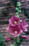 κοινό rosea hollyhock alcea στοκ φωτογραφίες με δικαίωμα ελεύθερης χρήσης