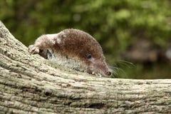 Κοινό shrew, araneus Sorex Στοκ εικόνες με δικαίωμα ελεύθερης χρήσης