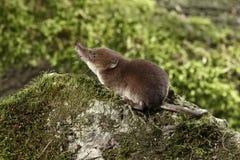 Κοινό shrew, araneus Sorex Στοκ φωτογραφίες με δικαίωμα ελεύθερης χρήσης