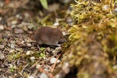 Κοινό shrew, araneus Sorex Στοκ Φωτογραφίες