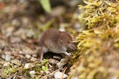 Κοινό shrew, araneus Sorex Στοκ εικόνα με δικαίωμα ελεύθερης χρήσης