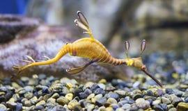 Κοινό taeniolatus Phyllopteryx δράκων θάλασσας Στοκ Εικόνα