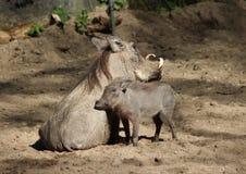 κοινό warthog στοκ φωτογραφίες