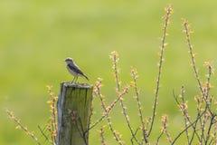 Κοινό wheatear Oenanthe oenanthe Στοκ Εικόνες