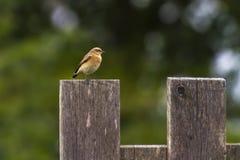 Κοινό wheatear Oenanthe oenanthe Στοκ φωτογραφίες με δικαίωμα ελεύθερης χρήσης