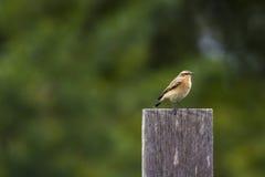 Κοινό wheatear Oenanthe oenanthe Στοκ Φωτογραφία