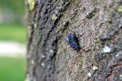Κοισμένος μύγα Στοκ Φωτογραφίες