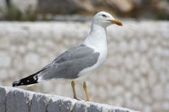 κοιτάζει έξω seagul Στοκ φωτογραφία με δικαίωμα ελεύθερης χρήσης
