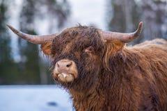 Κοιτάζοντας επίμονα αγελάδα ορεινών περιοχών Στοκ φωτογραφία με δικαίωμα ελεύθερης χρήσης
