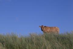 Κοιτάζοντας επίμονα αγελάδα Στοκ Εικόνες