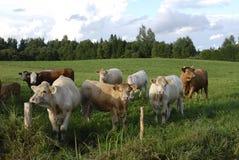Κοιτάζοντας επίμονα αγελάδες στον τομέα Στοκ Εικόνες