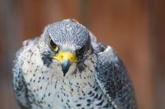 Κοιτάζοντας επίμονα αετός Στοκ Φωτογραφίες