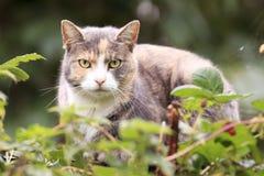 Κοιτάζοντας επίμονα γάτα Στοκ φωτογραφία με δικαίωμα ελεύθερης χρήσης
