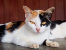 Κοιτάζοντας επίμονα γάτα Στοκ Φωτογραφία