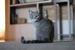 Κοιτάζοντας επίμονα γάτα στοκ εικόνες