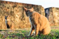 Κοιτάζοντας επίμονα γάτες Στοκ Εικόνα