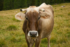 Κοιτάζοντας επίμονα καφετιά αγελάδα σε έναν τομέα βουνών Στοκ Φωτογραφίες