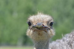 Κοιτάζοντας επίμονα κεφάλι στρουθοκαμήλων Στοκ Εικόνες