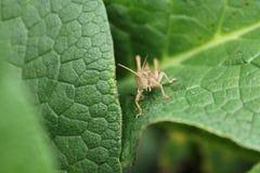 Κοιτάζοντας επίμονα grasshopper Στοκ Εικόνες