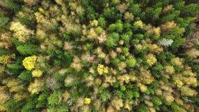 Κοιτάζοντας κάτω στο δάσος των συναρπαστικών χρωμάτων φθινοπώρου, λαμπρότητα πτώσης, εναέριο flyover απόθεμα βίντεο