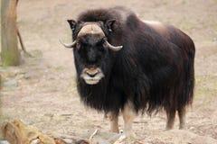 Κοιτάζοντας musk βόδι Στοκ εικόνα με δικαίωμα ελεύθερης χρήσης