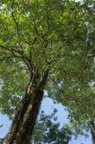 Κοιτάξτε επάνω στο δέντρο και το μπλε ουρανό Στοκ φωτογραφία με δικαίωμα ελεύθερης χρήσης