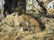 Κοιτάξτε επίμονα μιας λεοπάρδαλης στοκ φωτογραφία με δικαίωμα ελεύθερης χρήσης