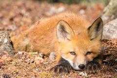 Κοιτάξτε επίμονα του νέου κόκκινου θηράματος καταδίωξης αλεπούδων εύθυμου στοκ εικόνα