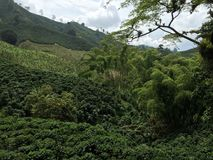 Κοιλάδα καφέ της Κολομβίας πράσινη Στοκ Εικόνες