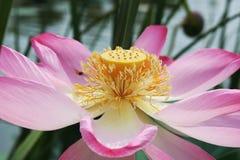 Κοιλάδα Lotus Στοκ εικόνα με δικαίωμα ελεύθερης χρήσης