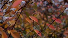 Κοκκινισμένη ταλάντευση φύλλων φθινοπώρου στον κλάδο από τον αέρα φιλμ μικρού μήκους