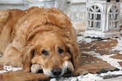 Κοκκινομάλλες χρυσό retriever φυλής σκυλιών βρίσκεται σε μια χιονισμένη πορεία με έναν χαρασμένο φακό Στοκ Φωτογραφία