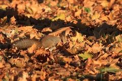 Κοκκινομάλλης γούνινος σκίουρος στο πάρκο στοκ εικόνες με δικαίωμα ελεύθερης χρήσης