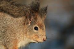 Κοκκινομάλλης γούνινος σκίουρος στο πάρκο στοκ εικόνες