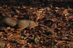 Κοκκινομάλλης γούνινος σκίουρος στο πάρκο στοκ φωτογραφίες με δικαίωμα ελεύθερης χρήσης