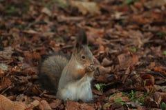 Κοκκινομάλλης γούνινος σκίουρος στο πάρκο στοκ εικόνα