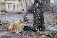 Κοκκινομάλλης μιγάς κλέφτης σκυλιών σε ένα υπόβαθρο ενός κτηρίου Θόριο Στοκ Εικόνες