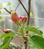4 κοκκινωπά άνθη της Apple sylvestris Malus Γιαγιάδων Σμίθ κάτω από την πλαστική σκηνή 2 στοκ φωτογραφία με δικαίωμα ελεύθερης χρήσης
