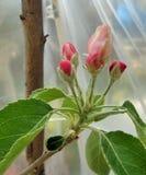 5 κοκκινωπά άνθη της Apple sylvestris Malus Γιαγιάδων Σμίθ κάτω από την πλαστική σκηνή 2 στοκ εικόνα