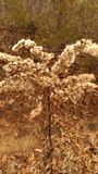 Κοκκινωπά χρωματισμένα κρέμα λουλούδια Στοκ Εικόνες