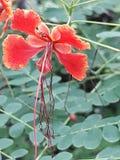 Κοκκινωπό λουλούδι Στοκ εικόνα με δικαίωμα ελεύθερης χρήσης