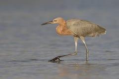 Κοκκινωπό να προμηθεύσει με ζωοτροφές τσικνιάδων σε μια παλιρροιακή λίμνη της Φλώριδας στοκ εικόνες με δικαίωμα ελεύθερης χρήσης