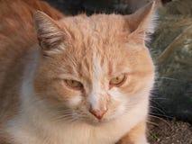 Κοκκινωπό πορτρέτο γατών υπαίθρια Στοκ εικόνα με δικαίωμα ελεύθερης χρήσης