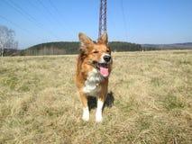 Κοκκώδες σκυλί κόλλεϊ συνόρων στον τομέα Στοκ Εικόνα