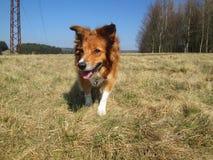 Κοκκώδες σκυλί κόλλεϊ συνόρων στο λιβάδι Στοκ εικόνες με δικαίωμα ελεύθερης χρήσης