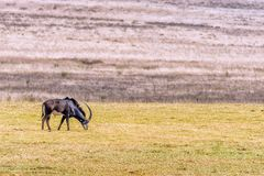 Κοκκώδης ταύρος αντιλοπών, Hippotragus Νίγηρας, βοσκή στοκ εικόνες