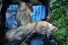 Κοκκώδη αρσενικά ενήλικα κουνάβια έξω στο καροτσάκι τους στοκ φωτογραφίες