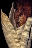Κολάζ με το corncob και το ανθρώπινο μάτι στοκ φωτογραφία